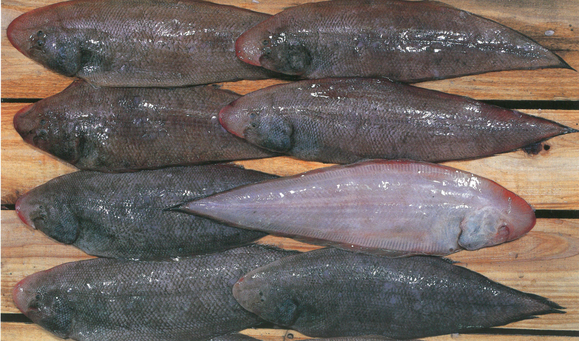 アカシタビラメの画像