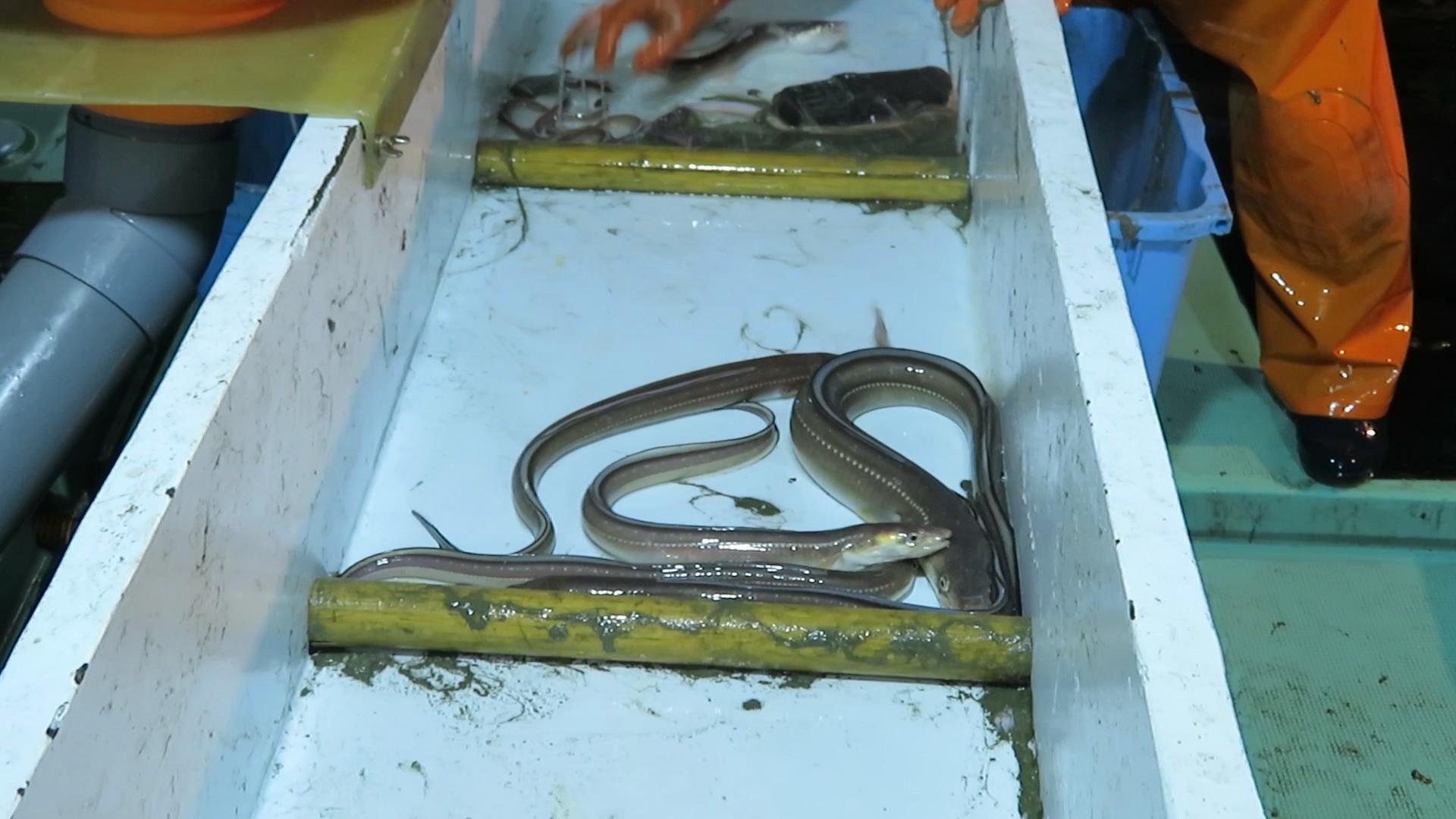漁獲したアナゴの画像