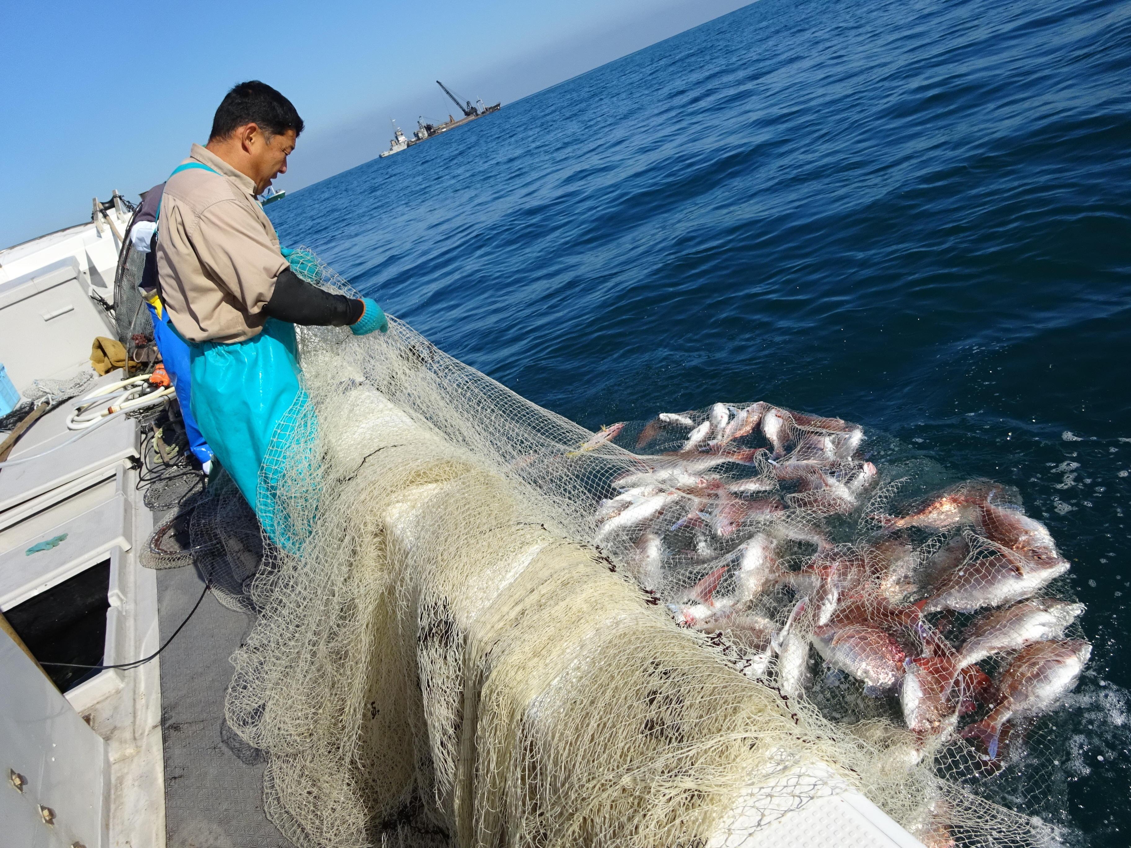 マダイの漁獲の画像