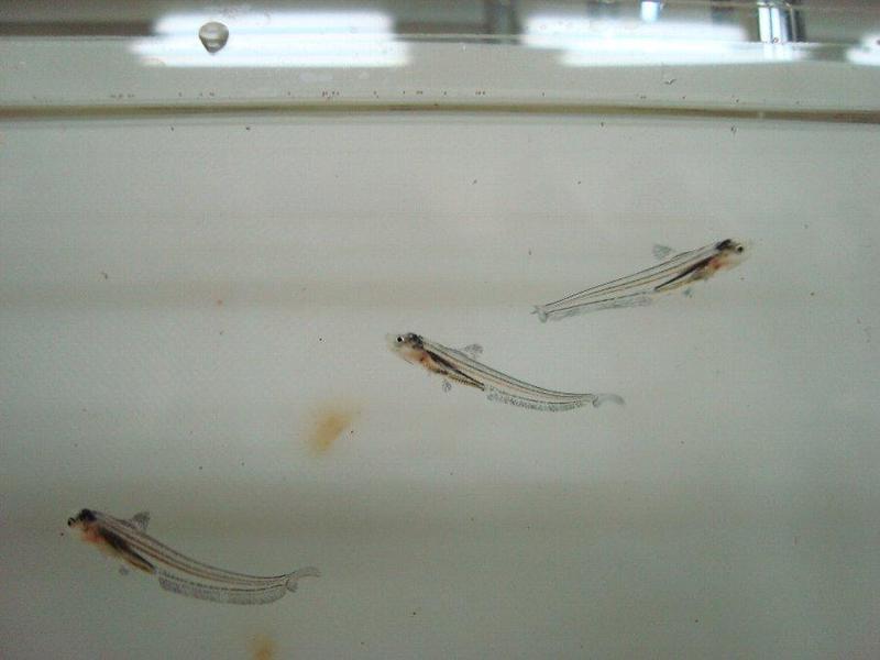 漁協で育ったエツの稚魚