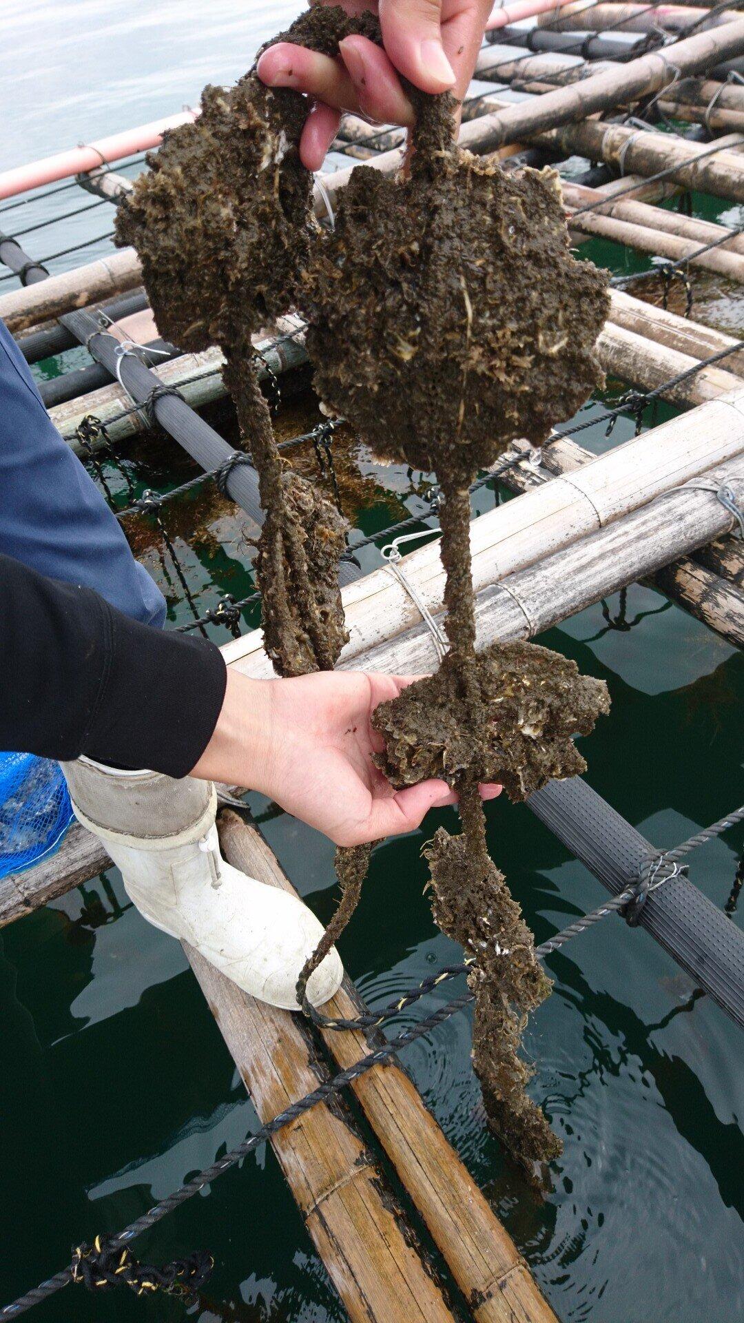 ホタテ貝に付着したカキ稚貝たち