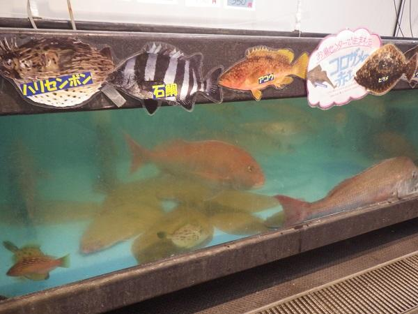 活魚水槽のマダイやヒラメ