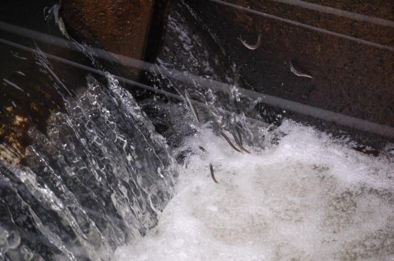 筑後大堰の魚道を遡上する稚アユ