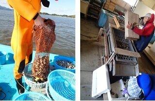 漁獲されたハマグリは一カ所に集めます。