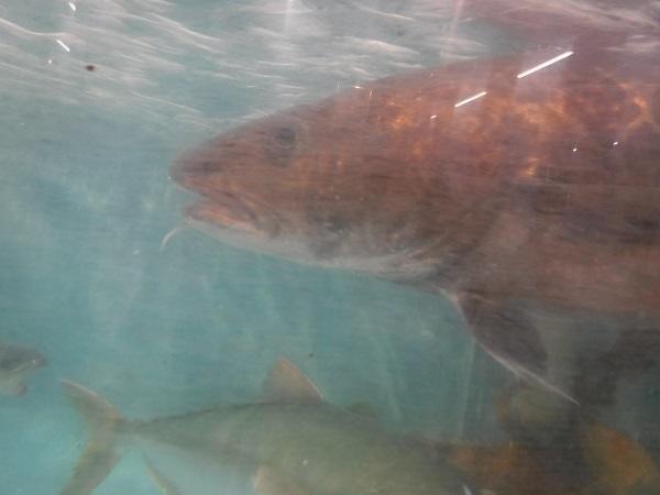 「マダラ」です。おヒゲが素敵♡ 魚の「ヒゲダン」!?